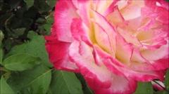 Pink rose after rain, close up Stock Footage