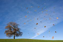 oak tree on hill, falling leaves, autumn - stock photo