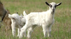 Beautiful Little Goat Grazing in the Meadow. Stock Footage