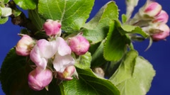 Time lapse of red apple blossoms opening , close-up Stock Footage