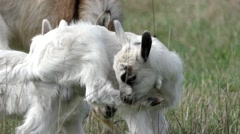 Little Goat Cleans Itself, and Itches. Stock Footage