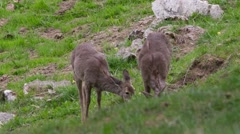 Roe deer and her cub are grazing Stock Footage