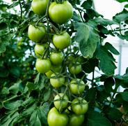 Green tomatoes growing on the stem Stock Photos