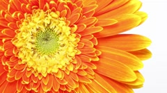 Slowly revolving Barberton Daisy flower Stock Footage