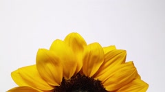 Slowly revolving sunflower - stock footage