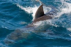 Dorsal fin of Great White Shark. Stock Photos