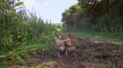 Organic free range chickens eating food on the farm Stock Footage