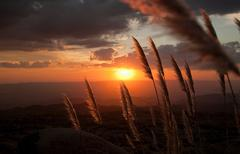 reed grass lit by sunset - stock photo