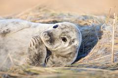 Grey seal pup, Donna Nook, Lincolnshire Stock Photos