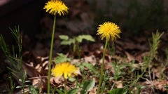 Dandelion flowers in Spring season, selective focus. - stock footage