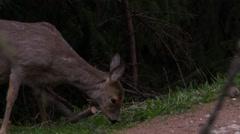 Wild roe deer eating grass - stock footage
