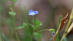 Blue Germander speedwell flowers with shallow depth of field. Stock Footage