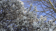 White Magnolia Flowers in Bloom, Spring Flowers  Stock Footage