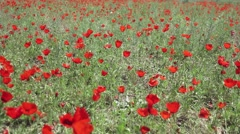 Field of bright red corn poppy flowers in summer - stock footage