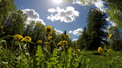 glade of dandelions - stock footage