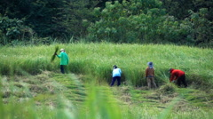 People working on rice field in Bali, Indonesia, super slow motion 120fps Stock Footage