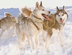 Huskies in winter - stock photo