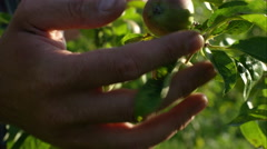 Father and son picking fruit on the farm. Stock Footage