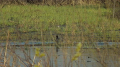 Marsh Hens Coots on the Lake, Males Battle Stock Footage