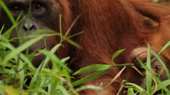Orangutans in Central Kalimantan - mother and child orangutan Stock Footage