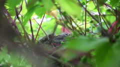 Two chicks sit in nest among leaves and expect mother on summer Stock Footage