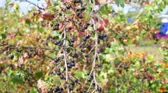 Ripe black currant on bush in garden on summer day Stock Footage