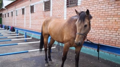 Brown horse is tethered near brick stables outdoor Stock Footage