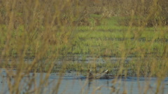 Marsh Hens Coots on the Lake, Males Battle - stock footage