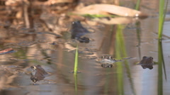 Slowmotion footage blue frogs mating Stock Footage