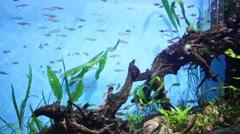 Many beautiful fish swim in aquarium between driftwood and seaweed Stock Footage