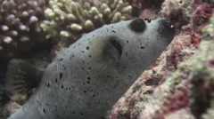 Blackspotted puffer fish pufferfish. Stock Footage