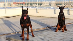 Two Doberman dogs with collars on roof of residential building Stock Footage