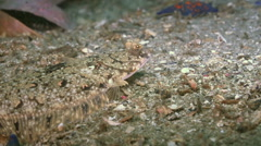 Flounder on the stone seabed is looking for food. Stock Footage