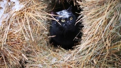 Black cat hides in molded yellow hay at winter and snow fall Stock Footage