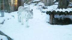 Beautiful white tiger goes on snow in cage behind glass at zoo Stock Footage