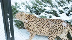 Cheetah goes on snow in cage behind net at zoo Stock Footage