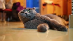 Beautiful fluffy black cat lies on wooden floor. Shallow dof Stock Footage