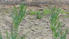Onions Growing in the Garden and Swaying in Wind. Stock Footage