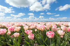Beautiful pink tulip field in sunny day Stock Photos