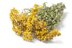 Twigs of Dried Herb Tansy - stock photo