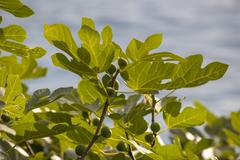 Figs on a Green Fig Tree - stock photo