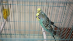 Two beautiful little Wavy parrots budgerigar sitting on stick in cage Stock Footage