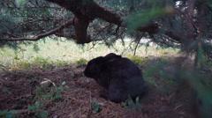 European Wild rabbit sits under a tree Stock Footage