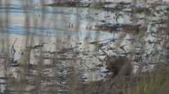 Muskrat Eating Grass on the Shore of the Lake in Large Stock Footage