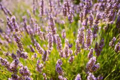 Lavender Flowers. Summer Season. Close Up - stock photo