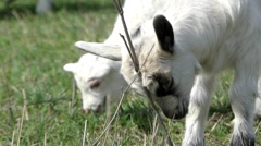 Cute Little Goat Scratching His Head. Stock Footage