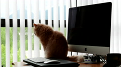 Persian cat sitting on table beside iMac computer Stock Footage