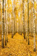 Birch Trees In Autumn Woods Forest. Yellow Foliage. Russian Fore - stock photo