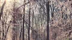 Frozen tree. Winter forest. Sun shine through tree branches covered with snow Stock Footage