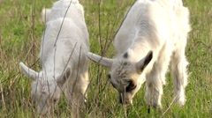 Little Goats and Mother Grazing in Slow Motion. Stock Footage
